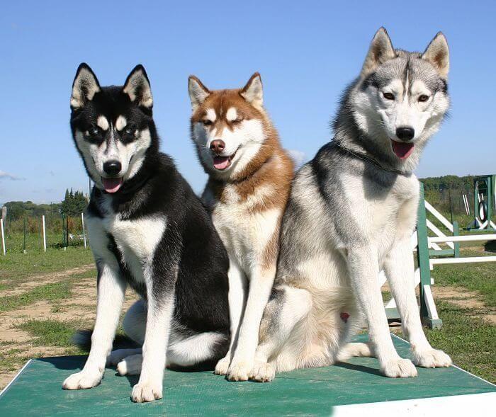 5 cosas que no sabías de los Husky Siberianos | Mascotas
