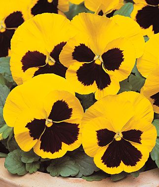 Pansy - For more info: http://www.gardeningknowhow.com/ornamental/flowers/pansy/pansies-care.htm
