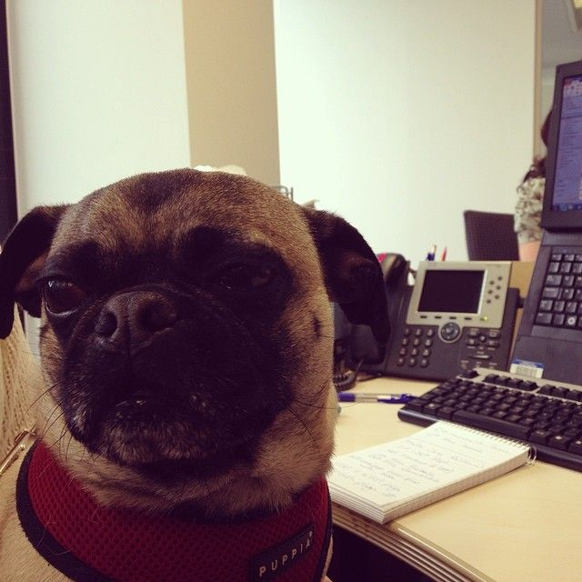 elvis the puggle visits the office!!