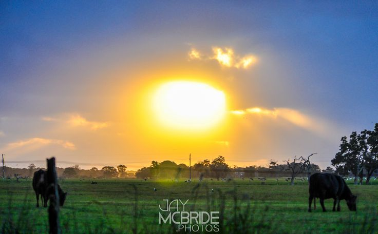 Break in the clouds by http://jaymcbride.photos  #yellow #Bovinae #Spring #Wildlife #adventure #animals #australia #beautiful #blue #bovine #bright #clouds #cows #environmental #farm #field #grass #green #greenlife #growth #landscape #life #nature #pasture #shade of yellow #sky #sun #travel #tree