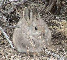 Pygmy rabbit - Wikipedia, the free encyclopedia