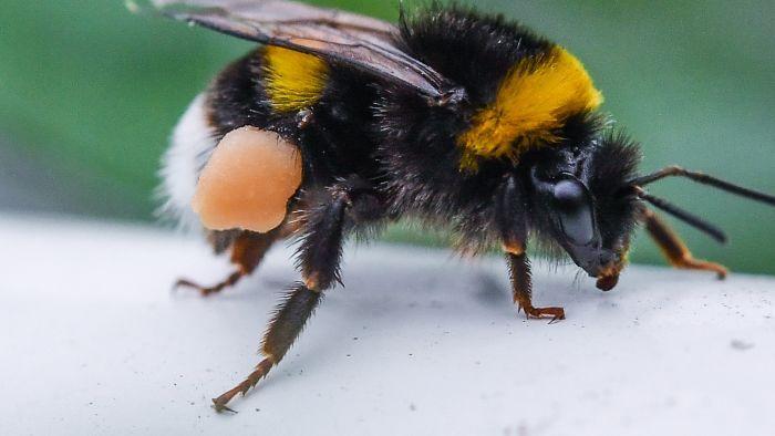 - Ob Fliegen, Falter, Käfer, Wespen oder Hummeln: In Deutschland fliegen nur noch dramatisch wenig Insekten. Laut einer Langzeitstudie sank ihre Zahl seit 1989 um 76 Prozent. Ursache könnten Dünger und Pestizide, aber auch Abgase sein. Die Folgen sind kaum absehbar.