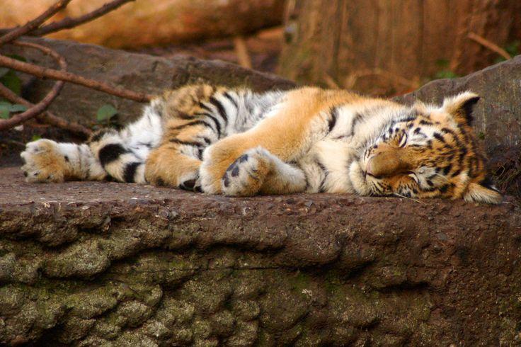 A cute tiger cub having a rest in Copenhagen Zoo. :)                                                                                                                                                                                 More
