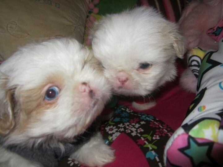 Blue eyed Shih tzu puppies | Through the eyes of animals ...