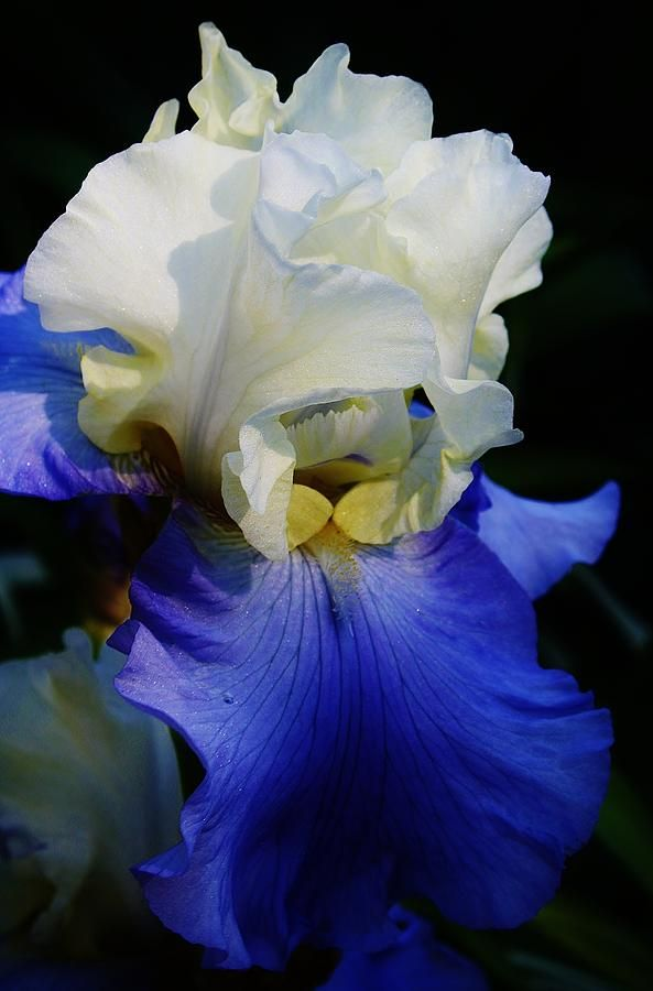 'A touch of elegance' Iris