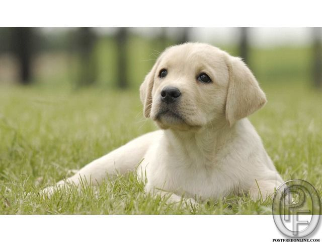 Are You The One Who Is Looking To Buy Labrador Dog Puppy In Mumbai Maharashtra India In Pet Anima Labrador Puppy Training Labrador Puppy Potty Training Puppy