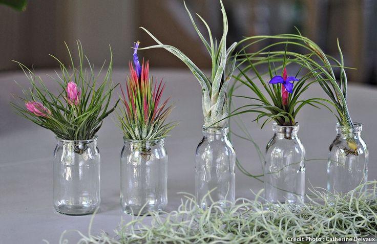 Les tillandsias sans terre ni racines pots for Destockage plantes