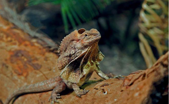 エリマキトカゲの特徴と飼育方法について紹介 襟巻がある理由や性格 飼育の注意点は Woriver エリマキトカゲ 動物 トカゲ