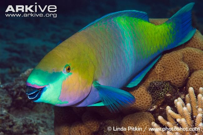 The rusty parrotfish, Scarus ferrugineus, is a species of fish found on coral reefs in the Red Sea, the Gulf of Aden, and the Persian Gulf. It is generally common. It measures up to 41 cm in length.