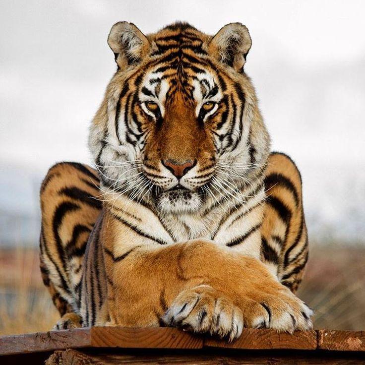 "7,065 Likes, 19 Comments - Destination Wild (@destination_wild) on Instagram: ""Relaxed  Tiger  | Photo by © Cheryl Nestico  #Destination_wild"""