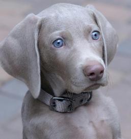 Gorgeous baby. Freehart's Weimaraners in southern California.Weimaraner puppies
