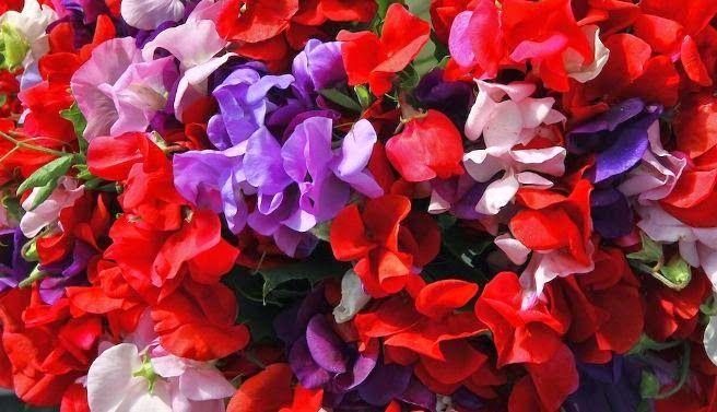 Ervilha-de-cheiro: As flores da ervilha-de-cheiro são vistosas, perfumadas e podem ser de cores variadas, como azul, branco, laranja, amarelo, rosa e vermelho. Ela tem esse nome porque, após a polinização, formam-se vagens curtas, com sementes semelhantes a ervilhas. Mas cuidado, essas ervilhas são venenosas. A altura da ervilha-de-cheiro não ultrapassa dois metros. Ela costuma florescer na primavera e no verão e seus ramos também podem ser usados para criar um belo e cheiroso buquê.