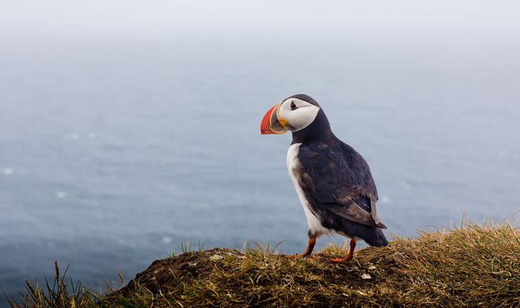 The Puffin. Icelandic Birds, Amazing Iceland.  Lundinn. Íslenskir fuglar. Ísland.