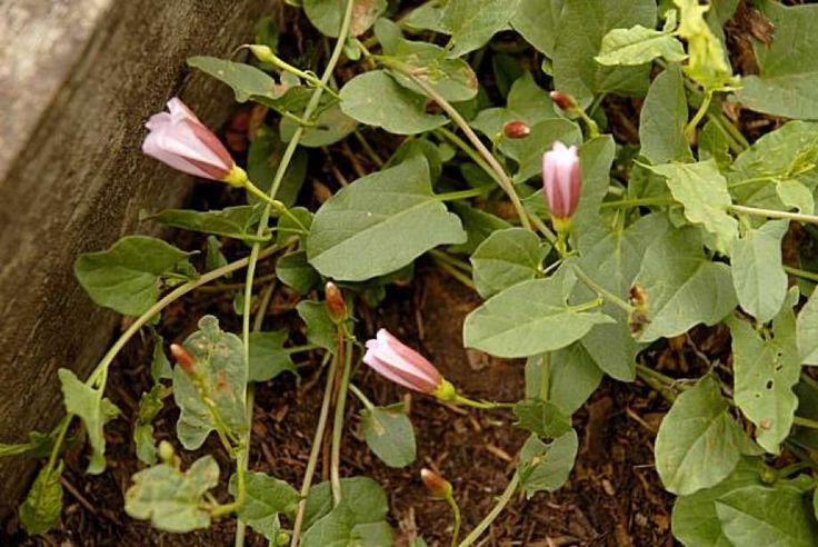 Chemicalfree ways to eliminate field bindweed Plants