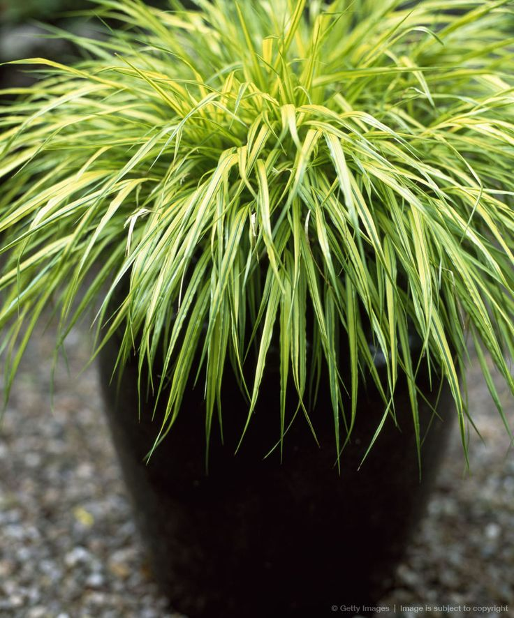 Container with Ornamental grass (Hakonechloa) in Summer, focus on foreground, UK