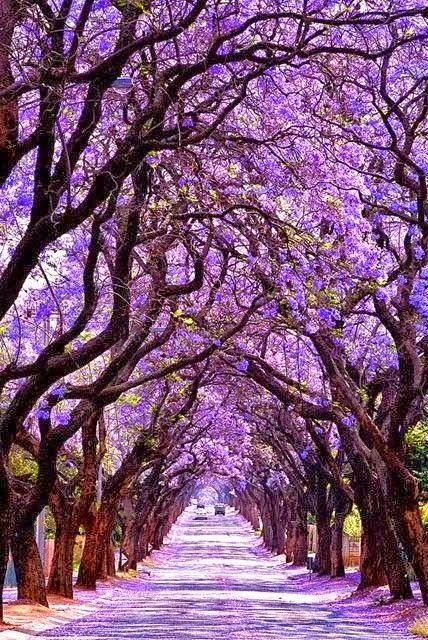 Jacaranda Tree - Sydney Australia