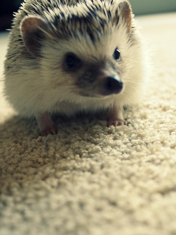Hedgehog. Gulliver Travle.