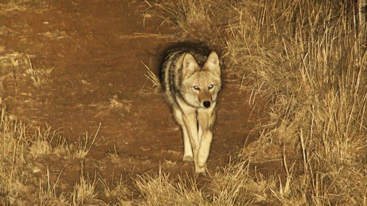 17 best images about coyote hunting on pinterest coyotes predator. Black Bedroom Furniture Sets. Home Design Ideas