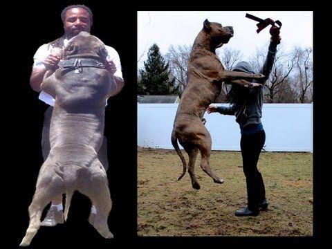 BGKs The Rock the big blue bully pitbull service dog!! bully pitbull ken...