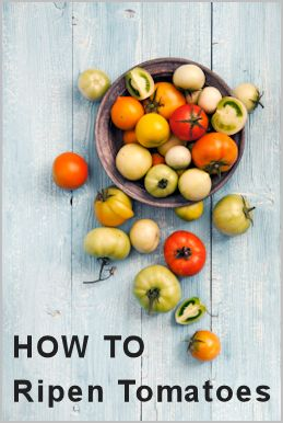 Here are a few tips to help speed up and encourage tomatoes to ripen on the vine when it's close to the end of growing season (there are also off the vine instructions)