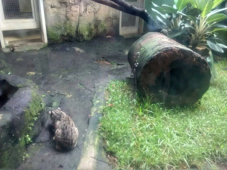 Kucing Hutan Kebun Binatang Ragunan