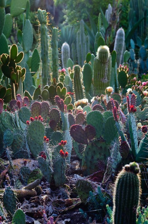 Arizona cactus garden at Stanford. via: http://www.flickr.com/photos/pearson3/5749960122/