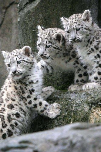 "Triplet Snow Leopard Cubs: ""Their natural curiosity aroused!"""