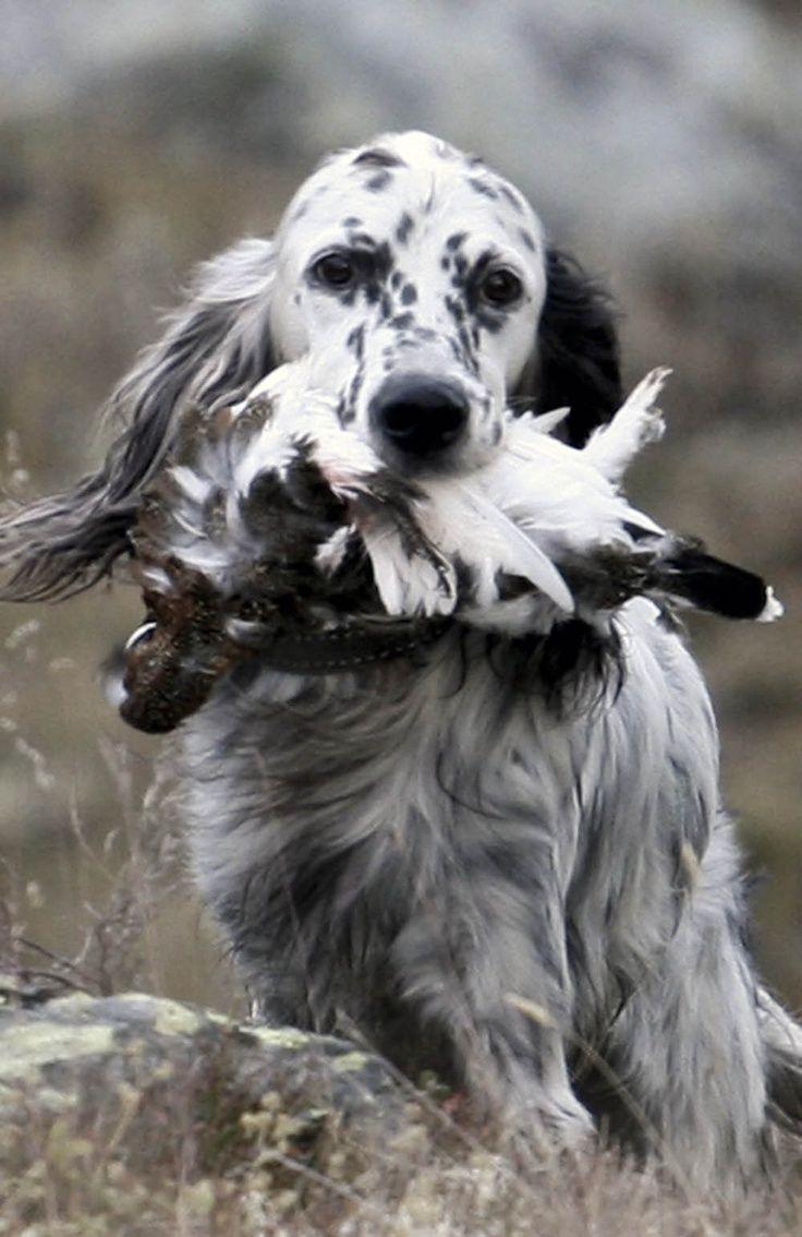 Sporting hound