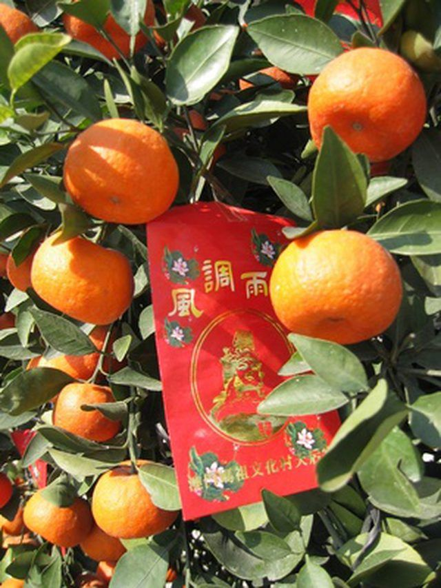 Mandarin orange trees are ideal for container growing. The plant is small enough for a large container and can be grown outdoors in the summer and taken inside during winter...