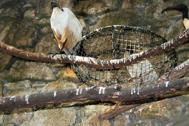 Pollo de ibis sagrado nacido en cautividad en el parque zoológico de Avifauna