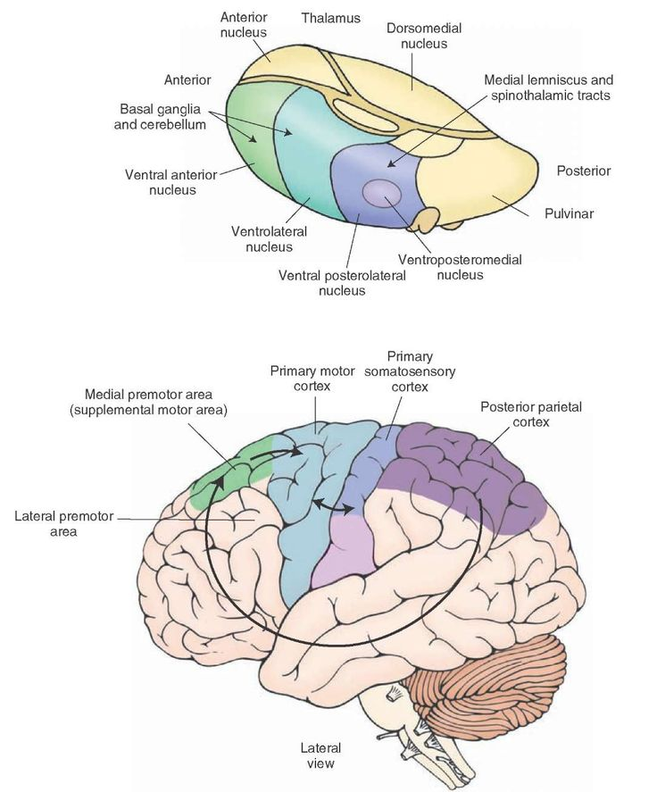 Principal afferent projections to the motor cortex. Note that the cerebellum and basal ganglia gain entry into the motor and premotor cortices via connections with the ventrolateral and ventral anterior thalamic nuclei. This diagram also illustrates several key corticocortical connections that are essential for motor functions of the cerebral cortex. These include connections from the posterior parietal cortex (areas 5 and 7) to the premotor and supplementary motor cortices, connections from…