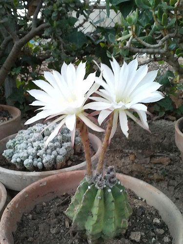 17 Best Images About Cactus Crasas Y Suculentas On