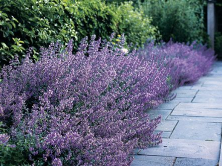 A salvia border for the front walk would be dreamy...Front Gardens, Gardens Ideas, Rhode Islands, Front Walks, Salvia Border, Front Yards, English Country Gardens, Gardens Landscapes, English Gardens Lavender