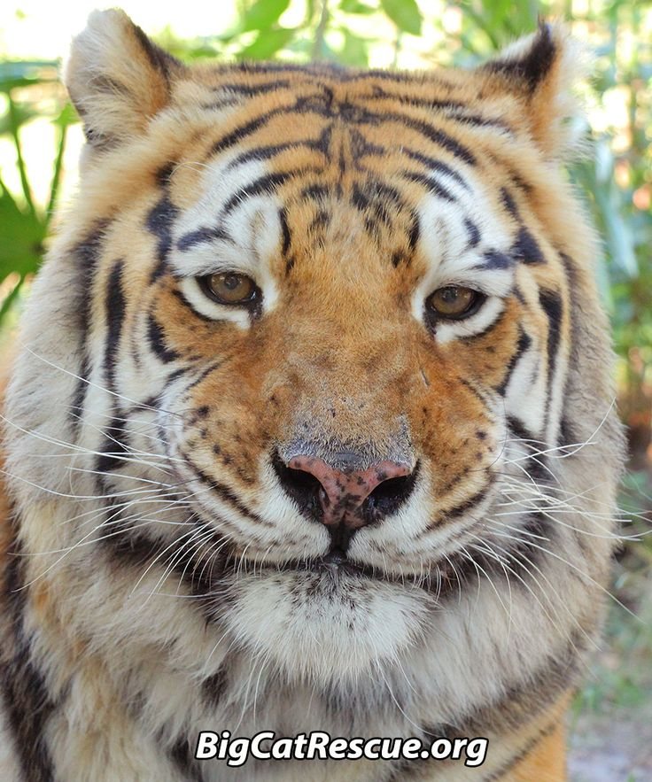 """Charaka says, """"NEW UPDATES!  LOTS of NEW Updates!!""""See what YOU MISSED!!  Get answers to questions!https://bigcatrescue.org/nov-18-2016/"""