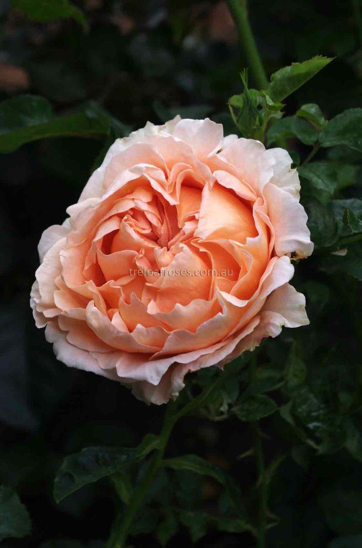 CLIMB. TWILIGHT GLOW* - Climbing. Roses