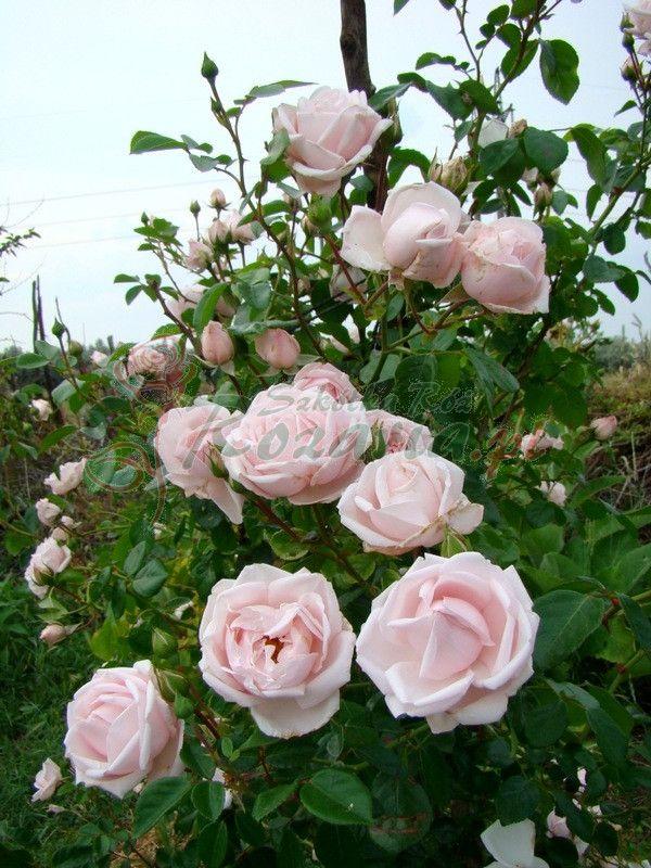 New Dawn Pnaca Roza Z Leroy Merlin Flower Aesthetic Climbing Roses Rose