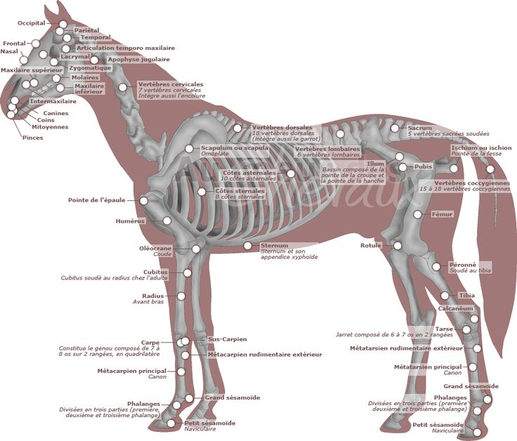 Récapitulatif du squelette du cheval