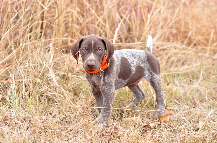 Konza the Konqueror. 8 week old German Shorthaired Pointer. Strong Point Kennels