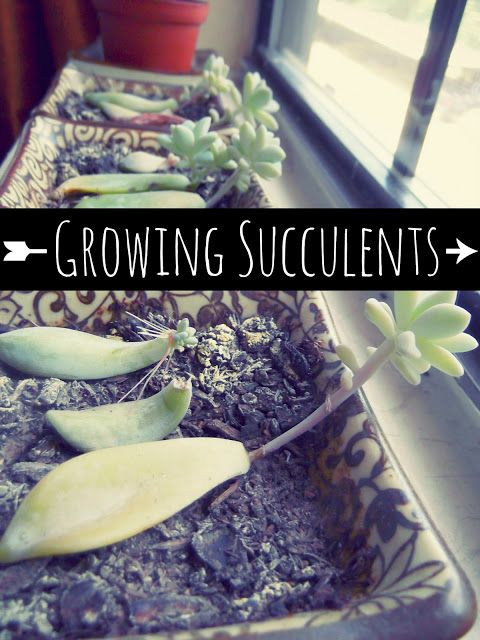 Life With SarahB: How to Grow Succulents. Grow suculent plants DIY, how to.