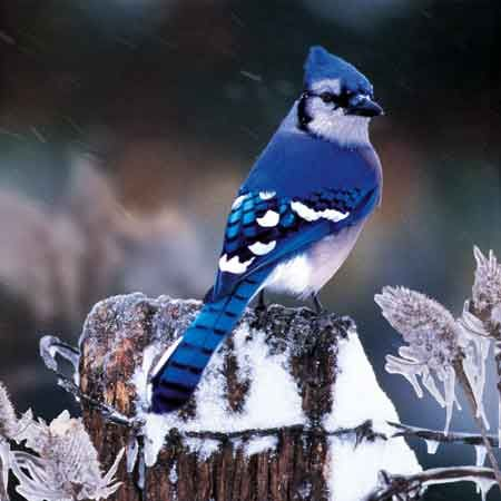 Bluejay - WOW, now that's blue!.It looks really pretty. Please check out my…