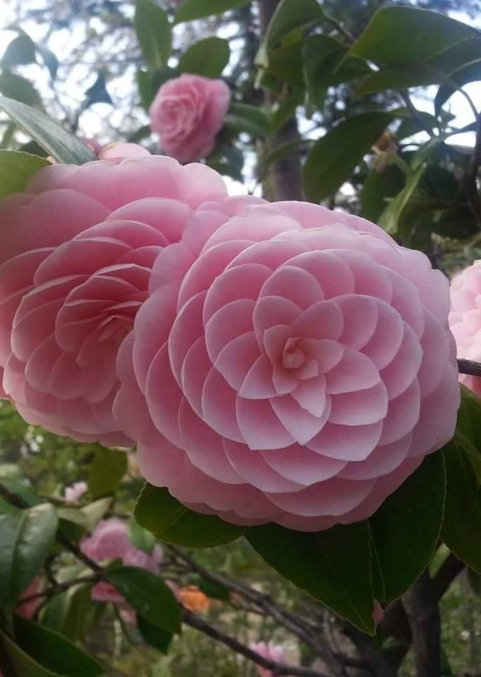 Japanese Flower Phi Camellia Japonica Japanese Camellia Japanese Flowers Flowers Amazing Flowers