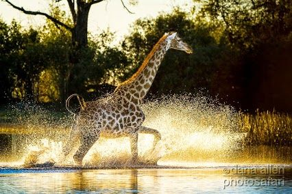 """To get to the other side""  © Dana Allen  #giraffe #Savuti #Botswana #wildlife #photography"