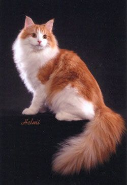 Norwegian Forest Cat in red tabby and white - stunning! Like my