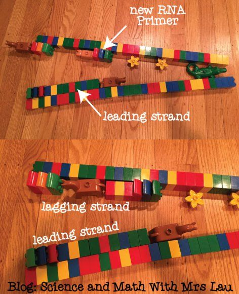 42 best dna rna and protein images on pinterest high school teach lagging and leading strand with lego bricks blog post showing dna replication with old fandeluxe Images