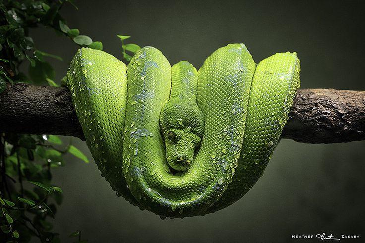 Snake #TorontoZoo