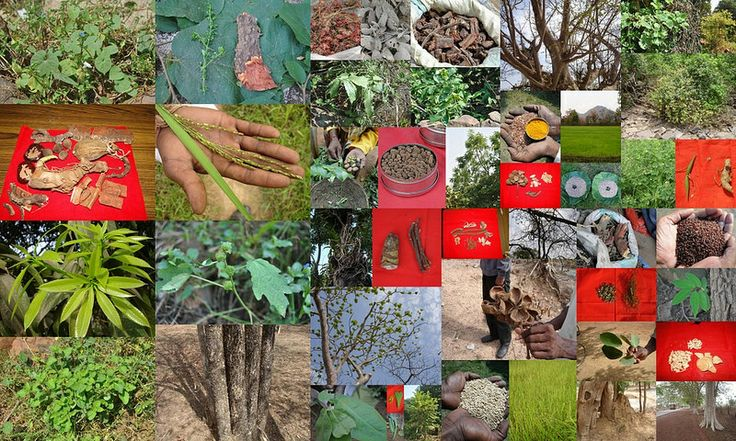 Medicinal Rice based Tribal Medicines for Diabetes Complications and Metabolic Disorders (TH Group-670) from Pankaj Oudhia's Medicinal Plant Database