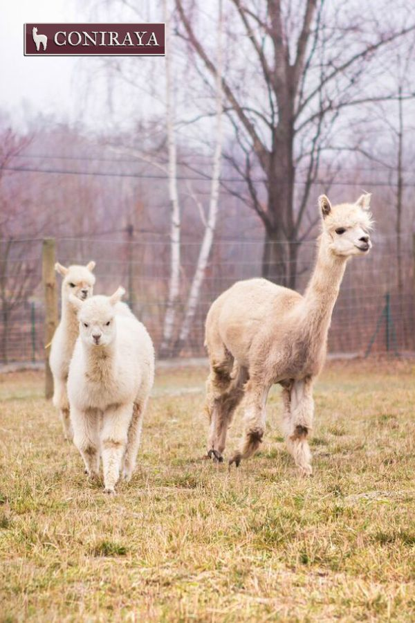 Oh, look! Food is coming! :D #alpacas #coniraya #alpaca #alpakino #food