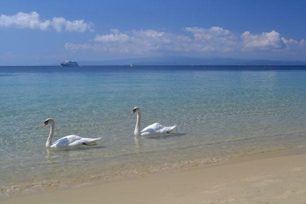 Swans at the beach of Koukounaries