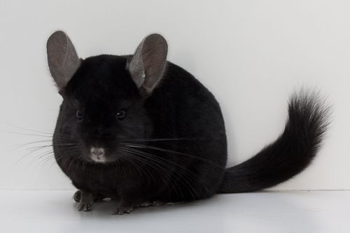 65 best images about chinchilla on Pinterest | Dark, Curls ...