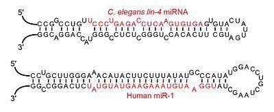 MicroRNA - 위키백과, 우리 모두의 백과사전